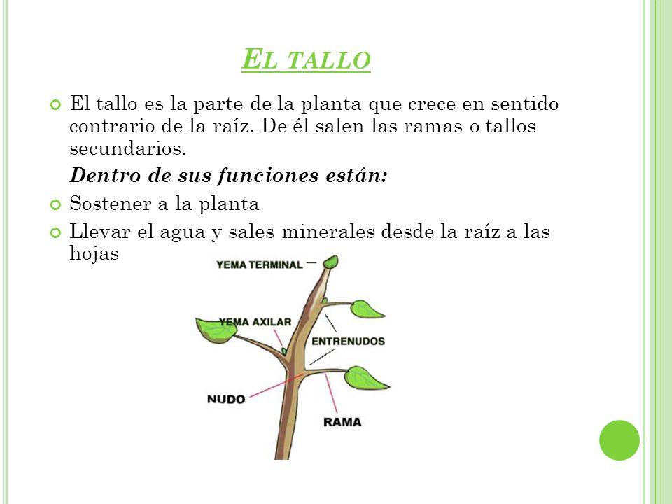 El tallo El tallo es la parte de la planta que crece en sentido contrario de la raíz. De él salen las ramas o tallos secundarios.