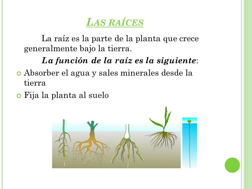 Las raíces La raíz es la parte de la planta que crece generalmente bajo la tierra. La función de la raíz es la siguiente: