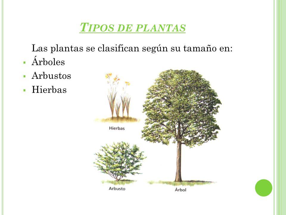 Tipos de plantas Las plantas se clasifican según su tamaño en: Árboles