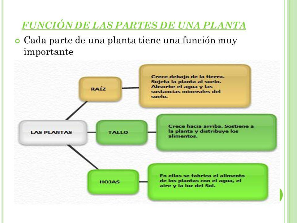 FUNCIÓN DE LAS PARTES DE UNA PLANTA