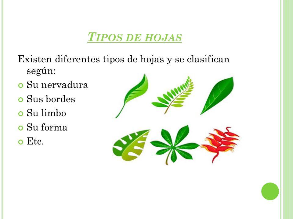 Tipos de hojas Existen diferentes tipos de hojas y se clasifican según: Su nervadura. Sus bordes.