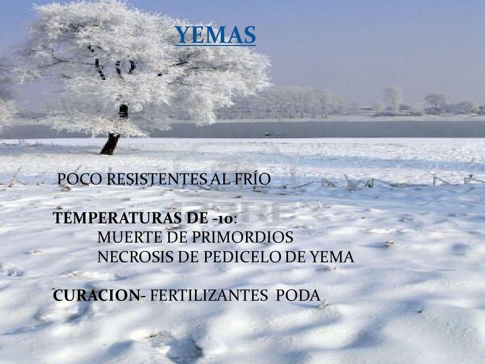 YEMAS POCO RESISTENTES AL FRÍO TEMPERATURAS DE -10: