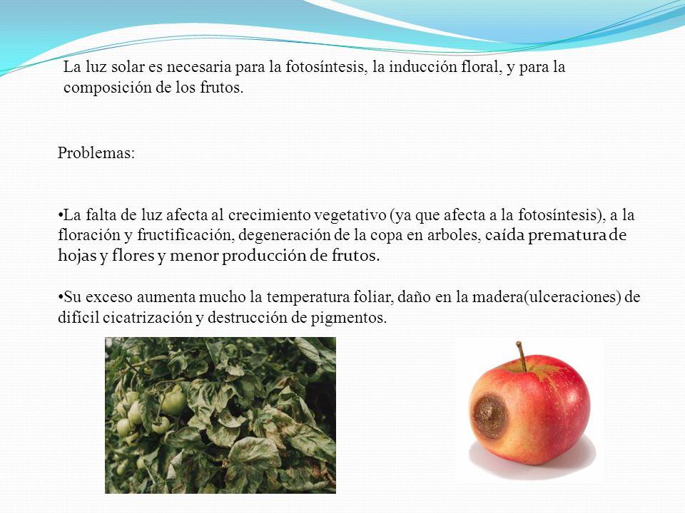La luz solar es necesaria para la fotosíntesis, la inducción floral, y para la composición de los frutos.