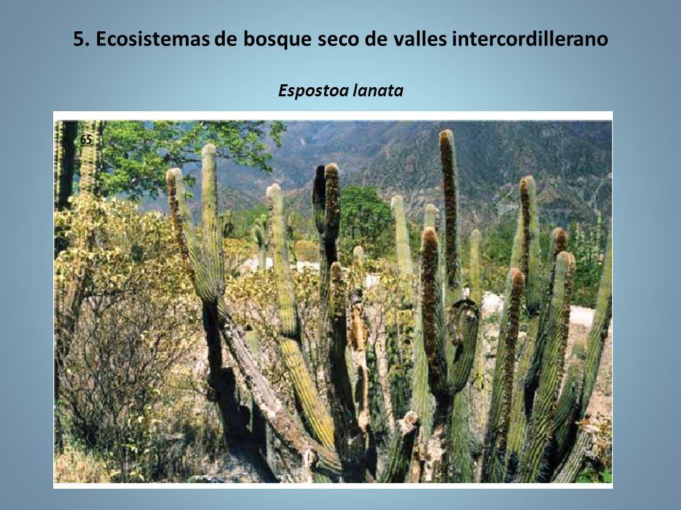 5. Ecosistemas de bosque seco de valles intercordillerano Espostoa lanata