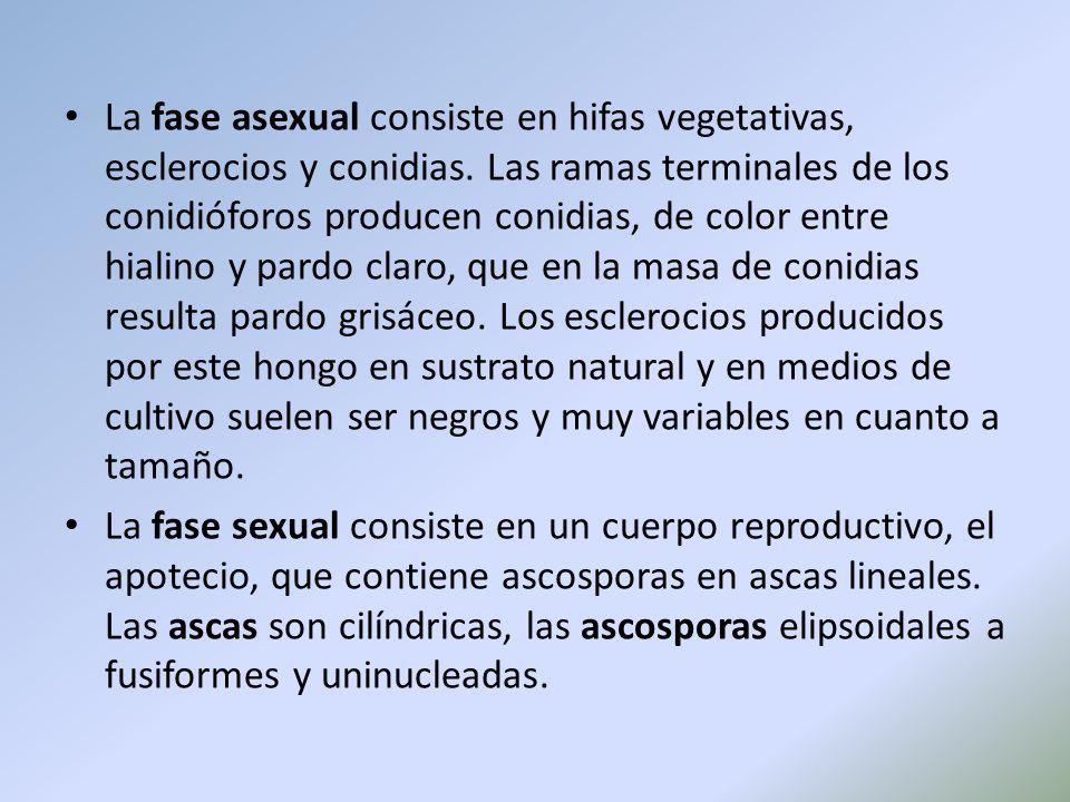 La fase asexual consiste en hifas vegetativas, esclerocios y conidias