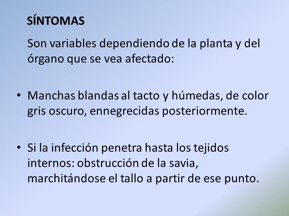SÍNTOMAS Son variables dependiendo de la planta y del órgano que se vea afectado: