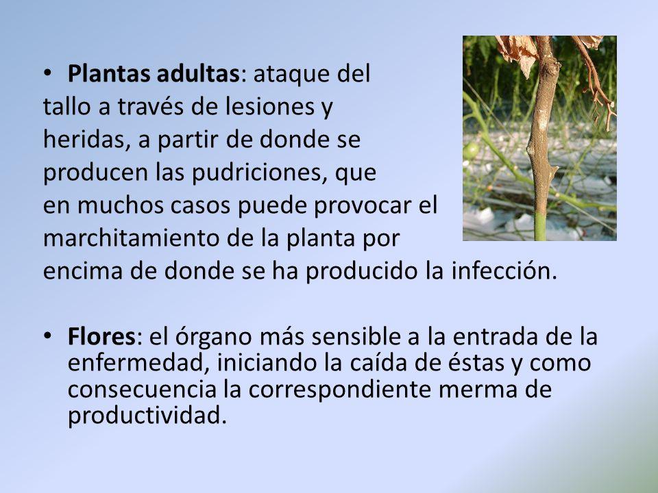 Plantas adultas: ataque del