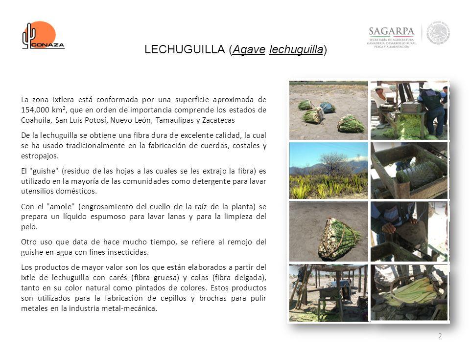 LECHUGUILLA (Agave lechuguilla)