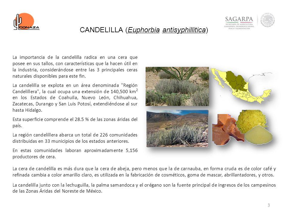 CANDELILLA (Euphorbia antisyphillitica)