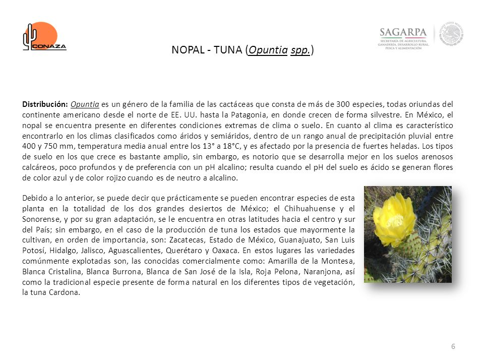 NOPAL - TUNA (Opuntia spp.)