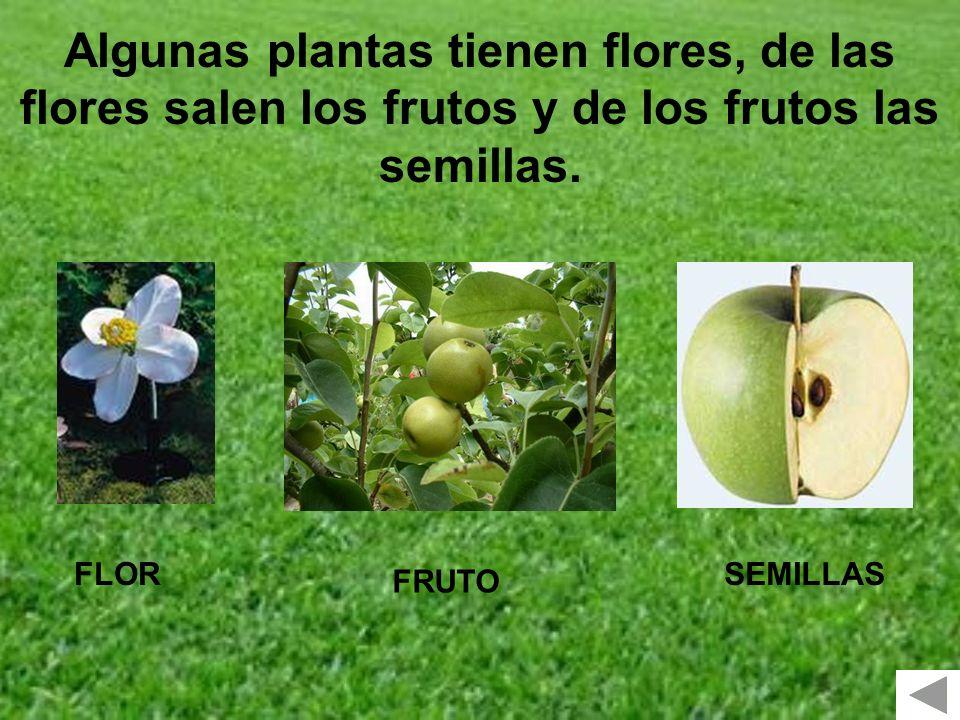 Algunas plantas tienen flores, de las flores salen los frutos y de los frutos las semillas.