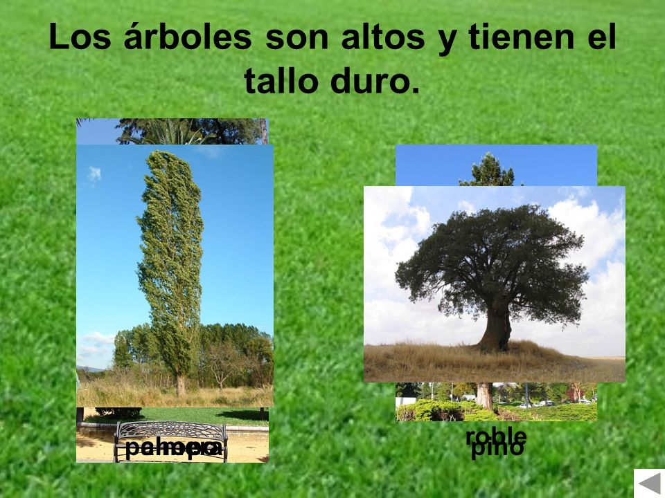 Los árboles son altos y tienen el tallo duro.