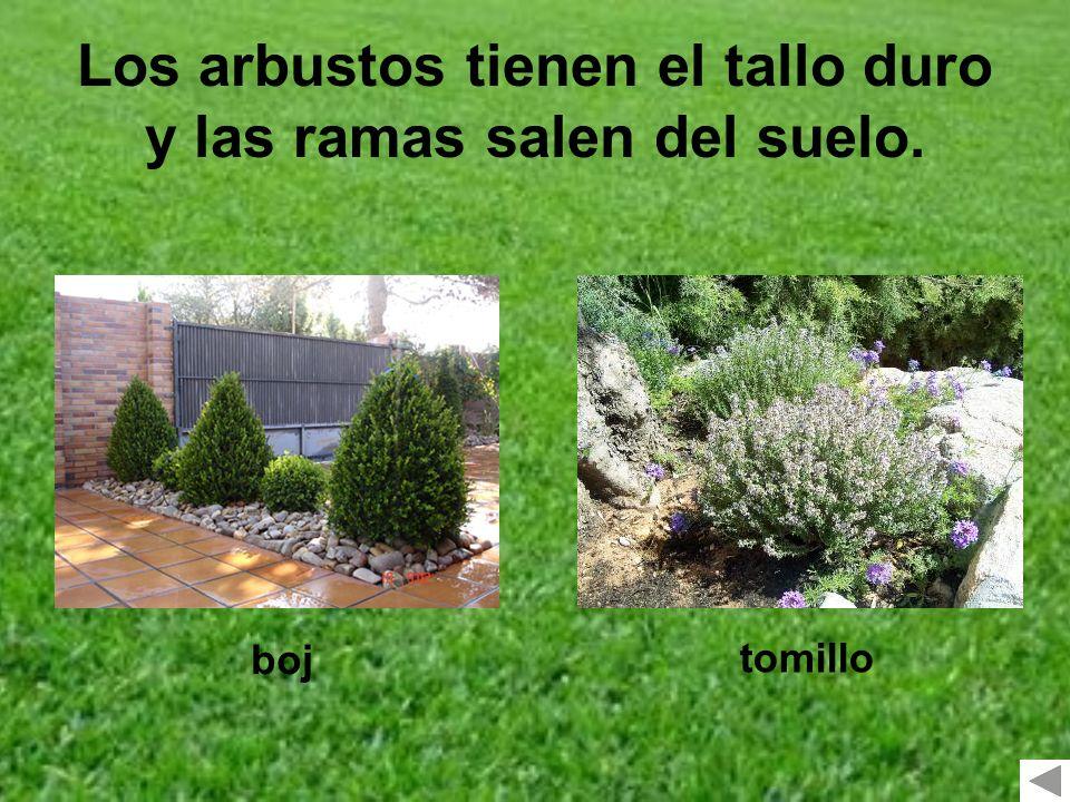Los arbustos tienen el tallo duro y las ramas salen del suelo.