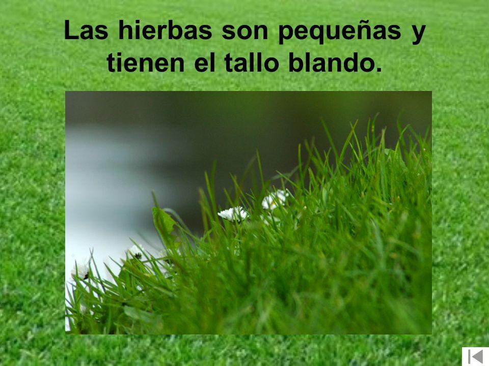 Las hierbas son pequeñas y tienen el tallo blando.
