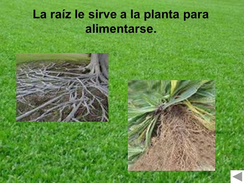 La raíz le sirve a la planta para alimentarse.