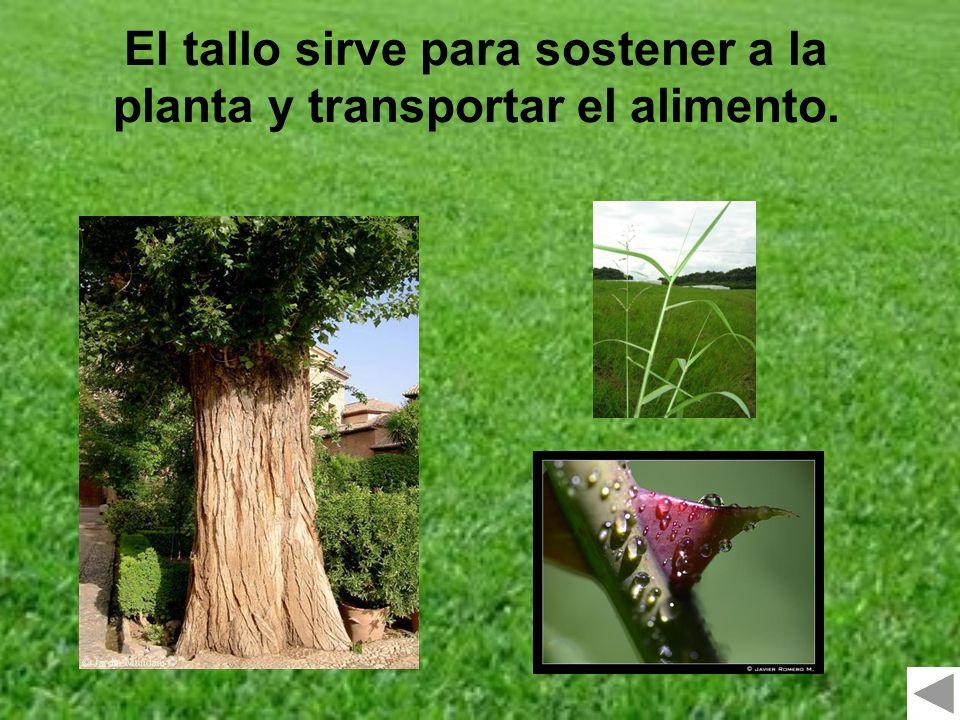El tallo sirve para sostener a la planta y transportar el alimento.