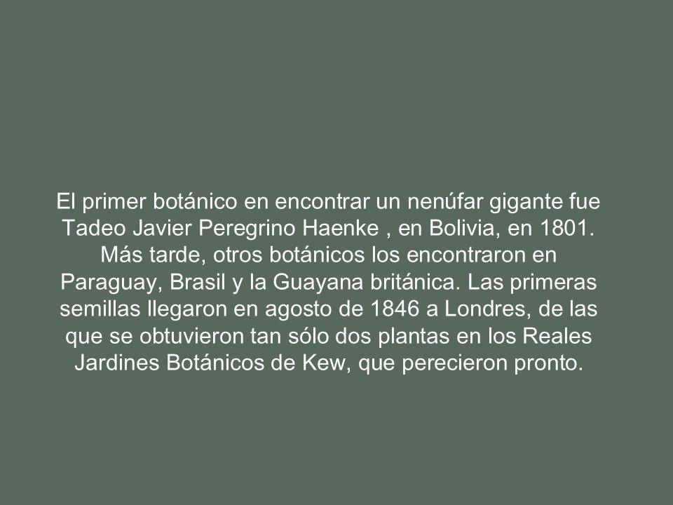 El primer botánico en encontrar un nenúfar gigante fue Tadeo Javier Peregrino Haenke , en Bolivia, en 1801.
