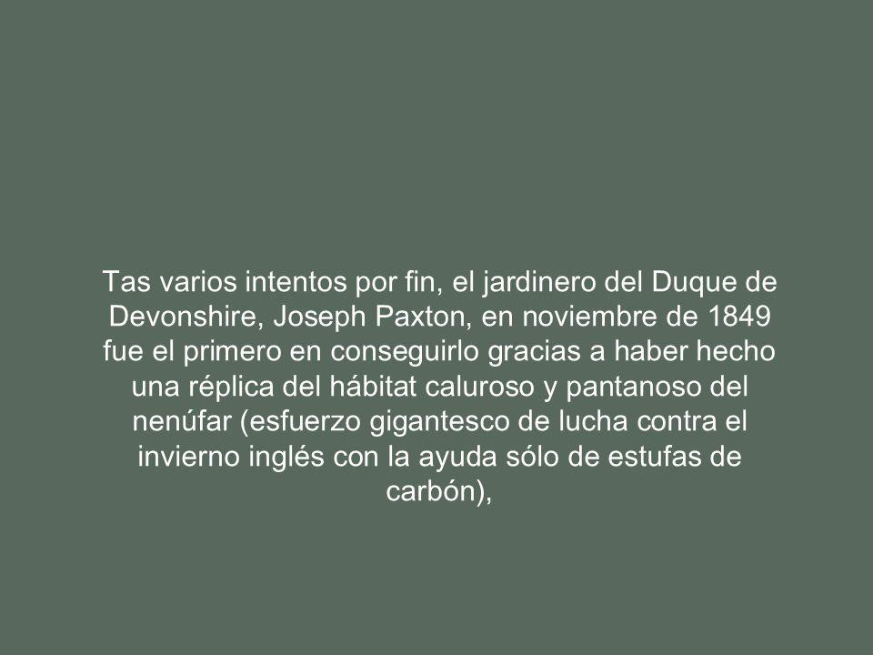 Tas varios intentos por fin, el jardinero del Duque de Devonshire, Joseph Paxton, en noviembre de 1849 fue el primero en conseguirlo gracias a haber hecho una réplica del hábitat caluroso y pantanoso del nenúfar (esfuerzo gigantesco de lucha contra el invierno inglés con la ayuda sólo de estufas de carbón),