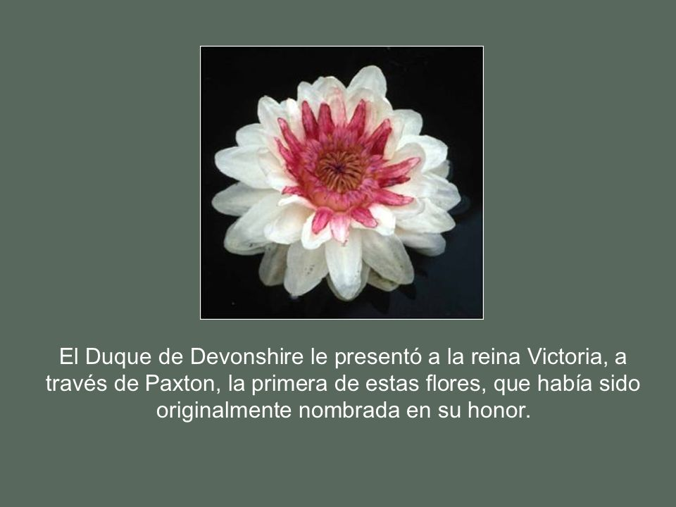 El Duque de Devonshire le presentó a la reina Victoria, a través de Paxton, la primera de estas flores, que había sido originalmente nombrada en su honor.