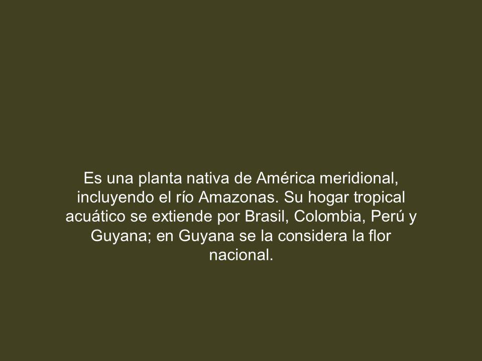 Es una planta nativa de América meridional, incluyendo el río Amazonas