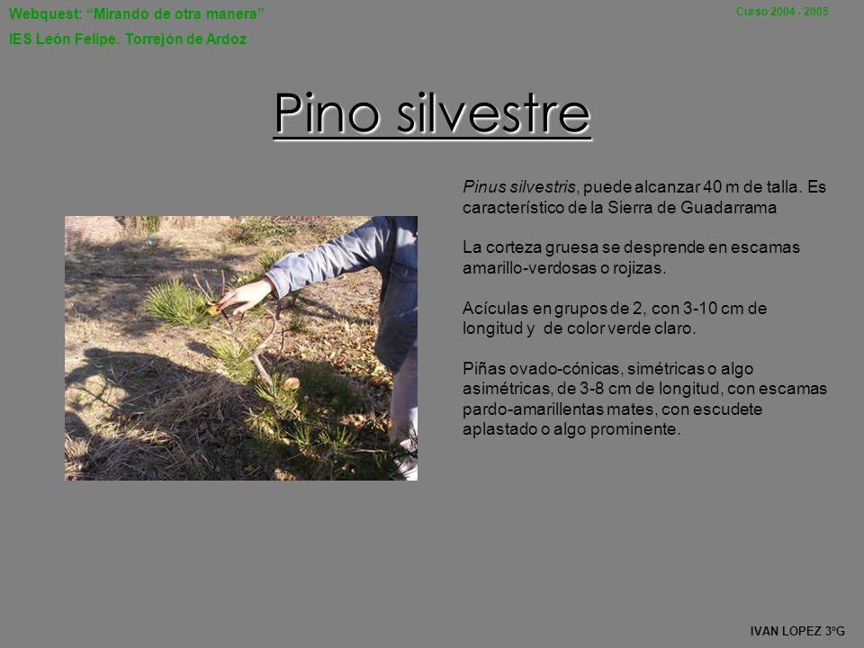 Pino silvestre Pinus silvestris, puede alcanzar 40 m de talla. Es característico de la Sierra de Guadarrama.