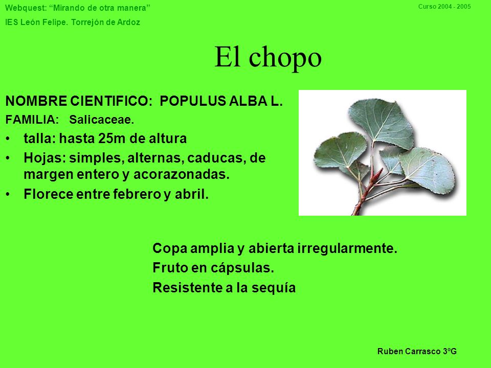 El chopo NOMBRE CIENTIFICO: POPULUS ALBA L. talla: hasta 25m de altura