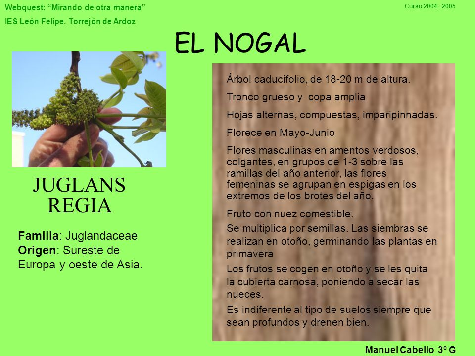 EL NOGAL JUGLANS REGIA Familia: Juglandaceae