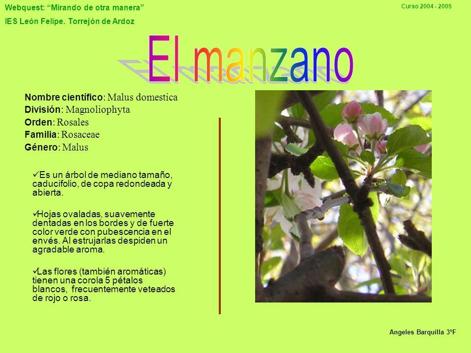 El manzano Nombre científico: Malus domestica División: Magnoliophyta Orden: Rosales Familia: Rosaceae Género: Malus.