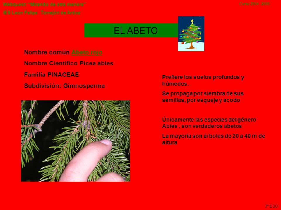 EL ABETO Nombre común Abeto rojo Nombre Científico Picea abies