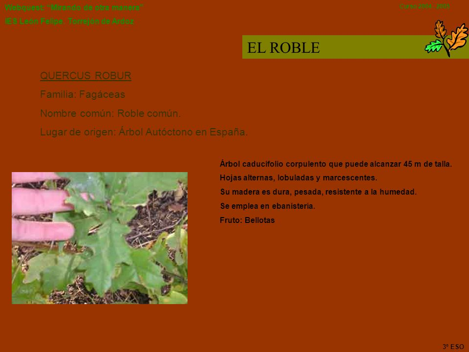 EL ROBLE QUERCUS ROBUR Familia: Fagáceas Nombre común: Roble común.
