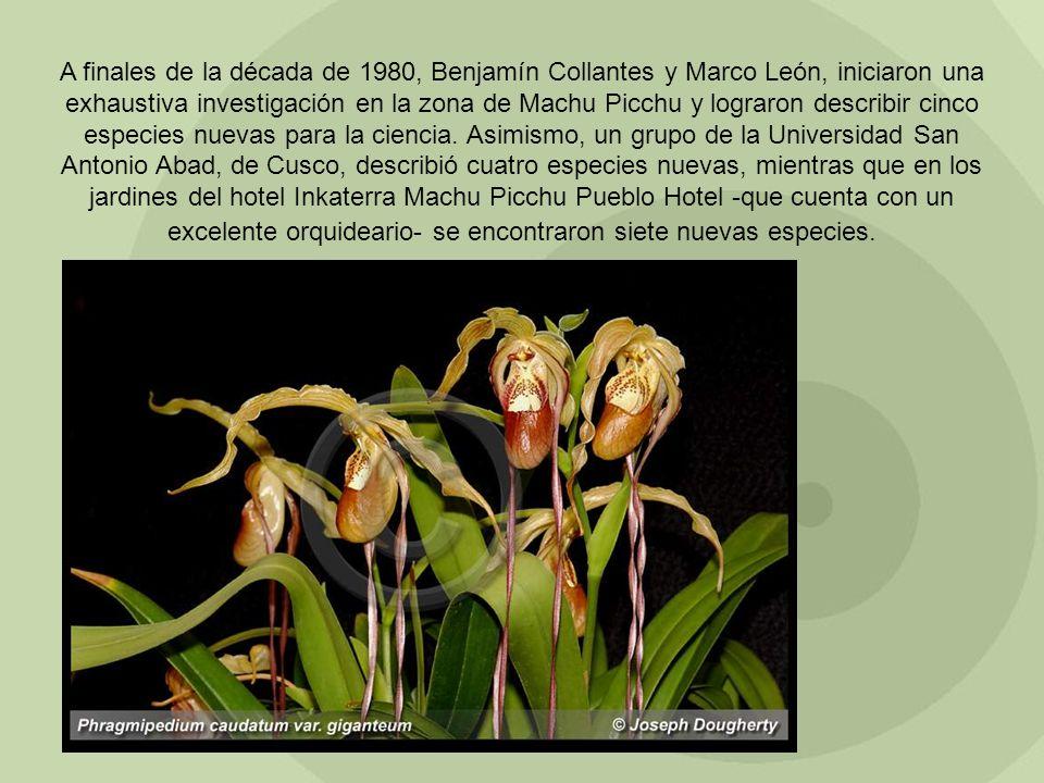 A finales de la década de 1980, Benjamín Collantes y Marco León, iniciaron una exhaustiva investigación en la zona de Machu Picchu y lograron describir cinco especies nuevas para la ciencia.