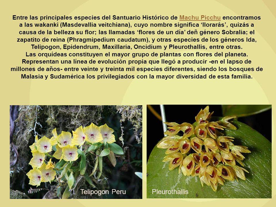 Telipogon Peru Pleurothallis