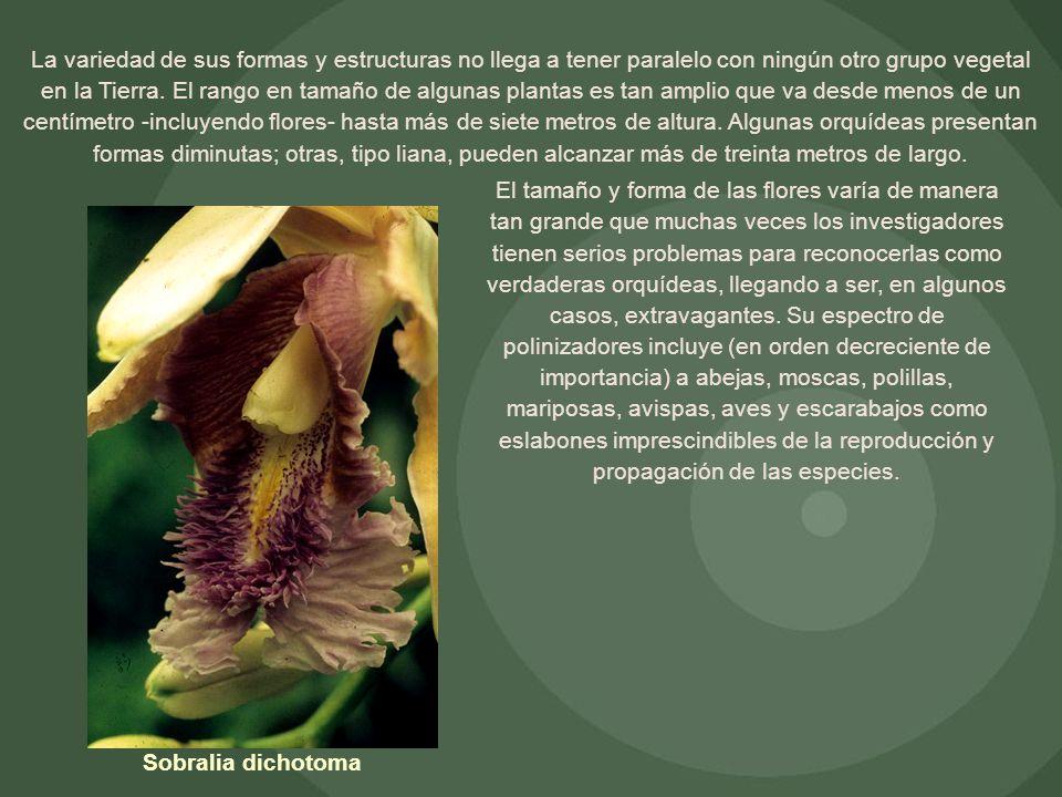 La variedad de sus formas y estructuras no llega a tener paralelo con ningún otro grupo vegetal en la Tierra. El rango en tamaño de algunas plantas es tan amplio que va desde menos de un centímetro -incluyendo flores- hasta más de siete metros de altura. Algunas orquídeas presentan formas diminutas; otras, tipo liana, pueden alcanzar más de treinta metros de largo.