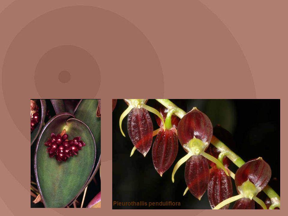 Pleurothallis penduliflora