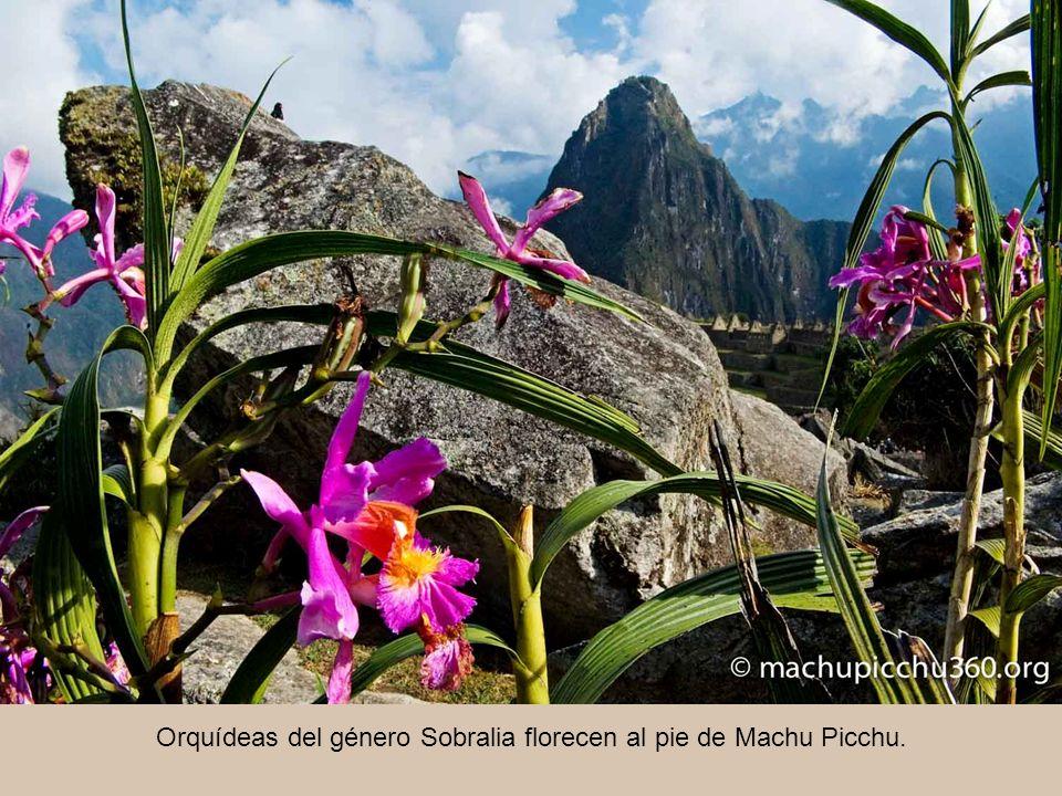 Orquídeas del género Sobralia florecen al pie de Machu Picchu.