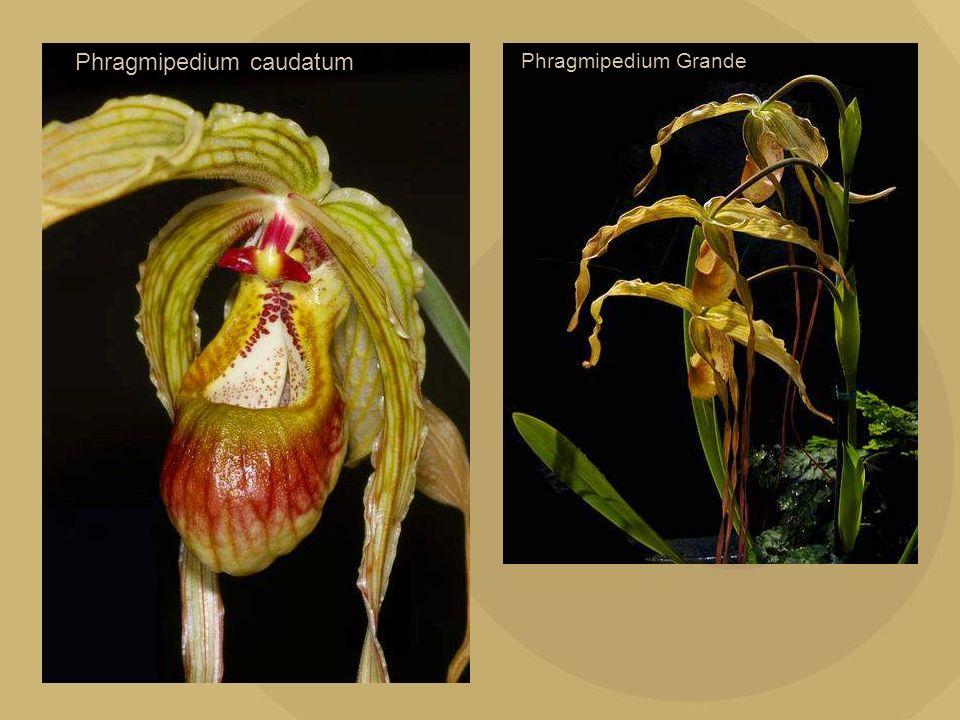 Phragmipedium caudatum