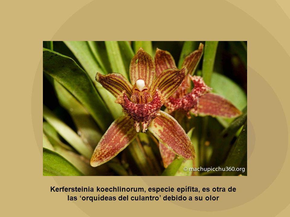 Kerfersteinia koechlinorum, especie epífita, es otra de las 'orquídeas del culantro' debido a su olor