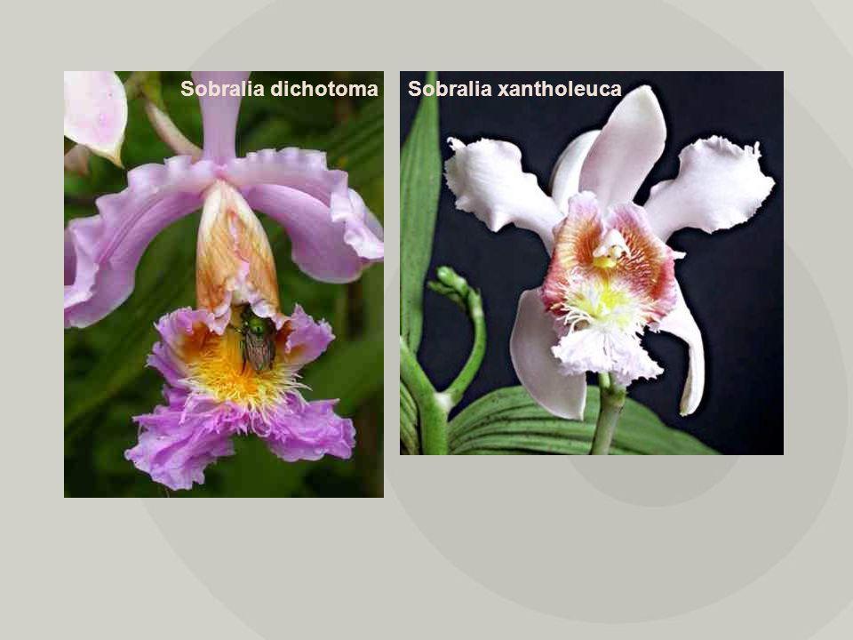 Sobralia dichotoma Sobralia xantholeuca