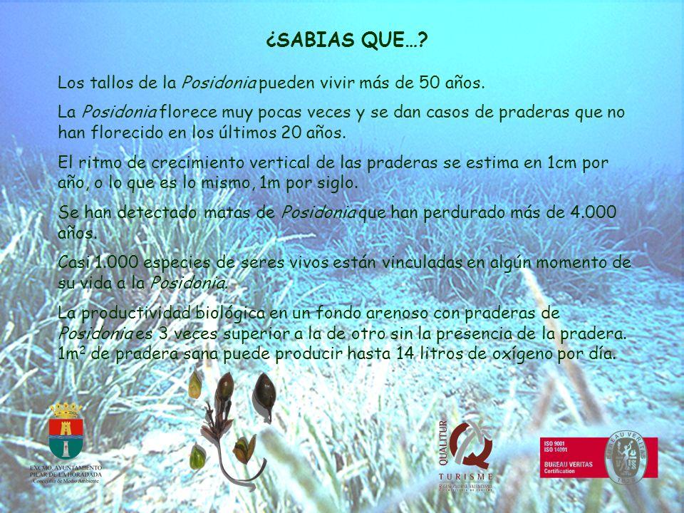 ¿SABIAS QUE… Los tallos de la Posidonia pueden vivir más de 50 años.