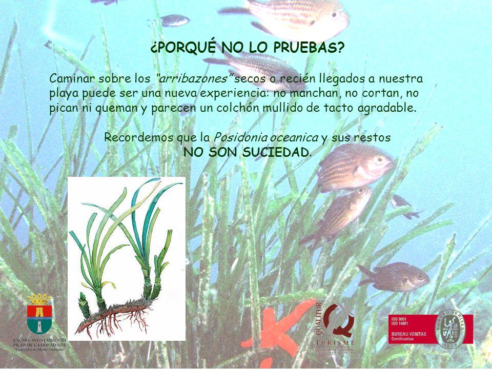 Recordemos que la Posidonia oceanica y sus restos