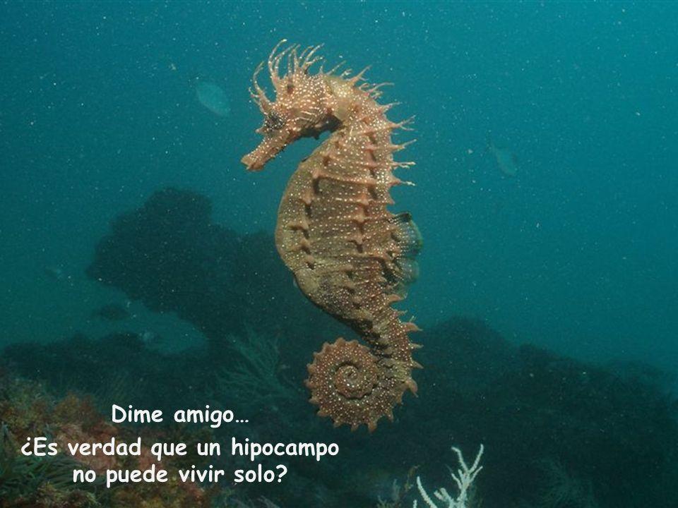 ¿Es verdad que un hipocampo no puede vivir solo