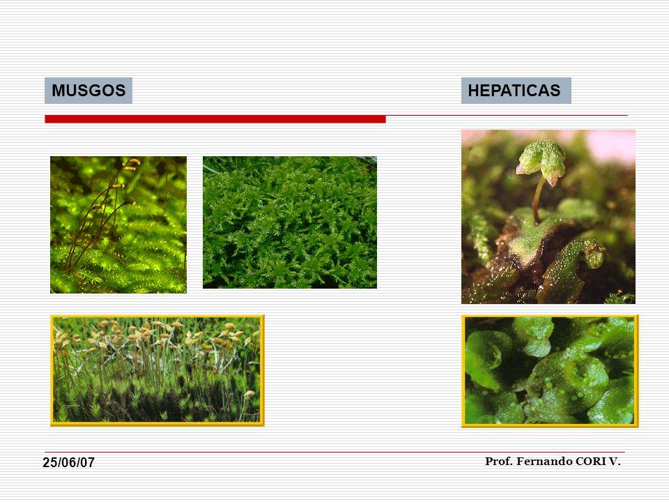 MUSGOS HEPATICAS 25/06/07 Prof. Fernando CORI V.