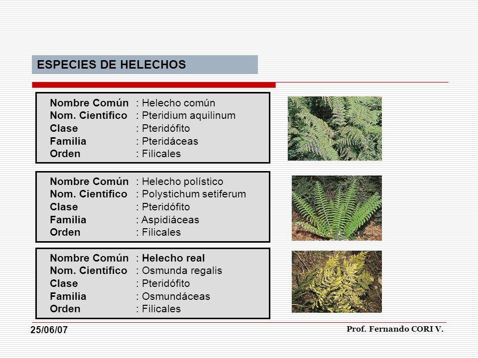 ESPECIES DE HELECHOS Nombre Común : Helecho común