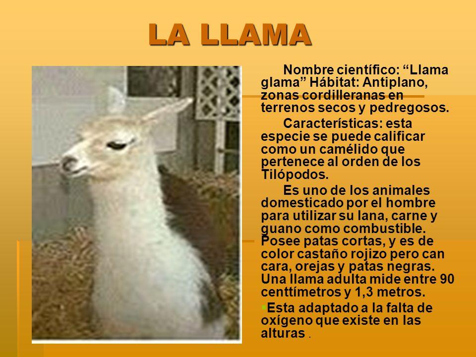 LA LLAMA Nombre científico: Llama glama Hábitat: Antiplano, zonas cordilleranas en terrenos secos y pedregosos.
