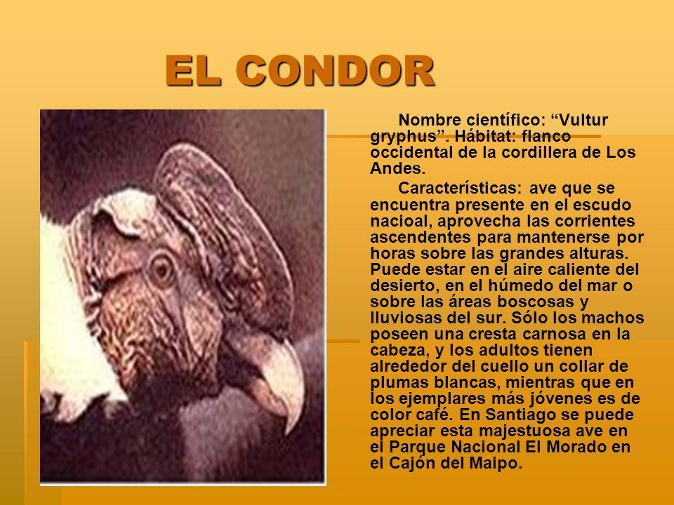 EL CONDOR Nombre científico: Vultur gryphus . Hábitat: flanco occidental de la cordillera de Los Andes.