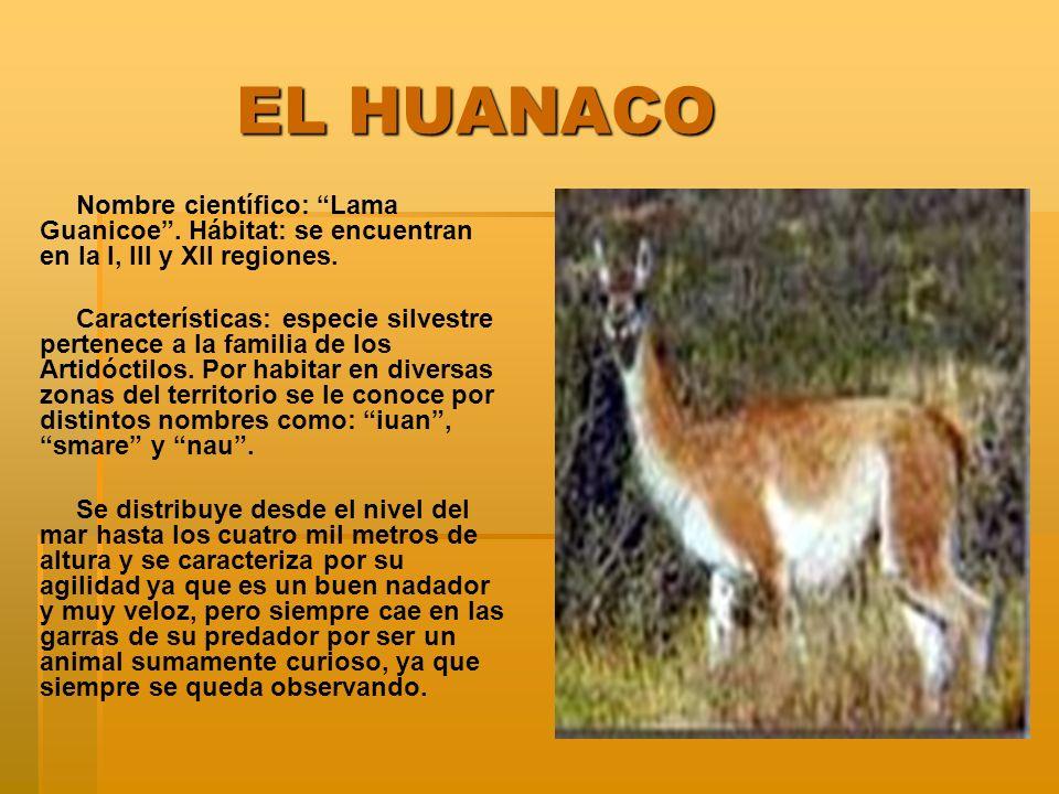 EL HUANACO Nombre científico: Lama Guanicoe . Hábitat: se encuentran en la I, III y XII regiones.