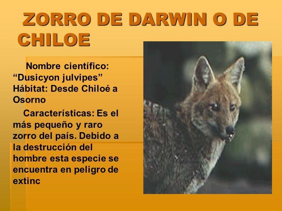 ZORRO DE DARWIN O DE CHILOE