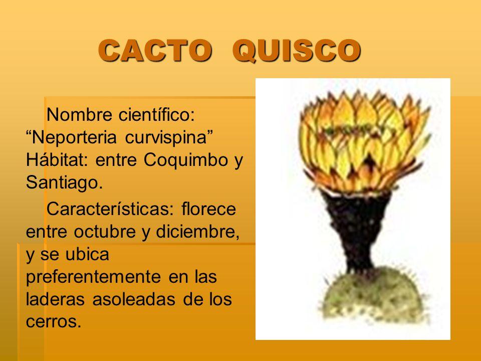 CACTO QUISCO Nombre científico: Neporteria curvispina Hábitat: entre Coquimbo y Santiago.