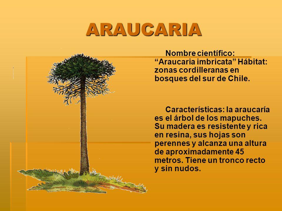 ARAUCARIA Nombre científico: Araucaria imbricata Hábitat: zonas cordilleranas en bosques del sur de Chile.