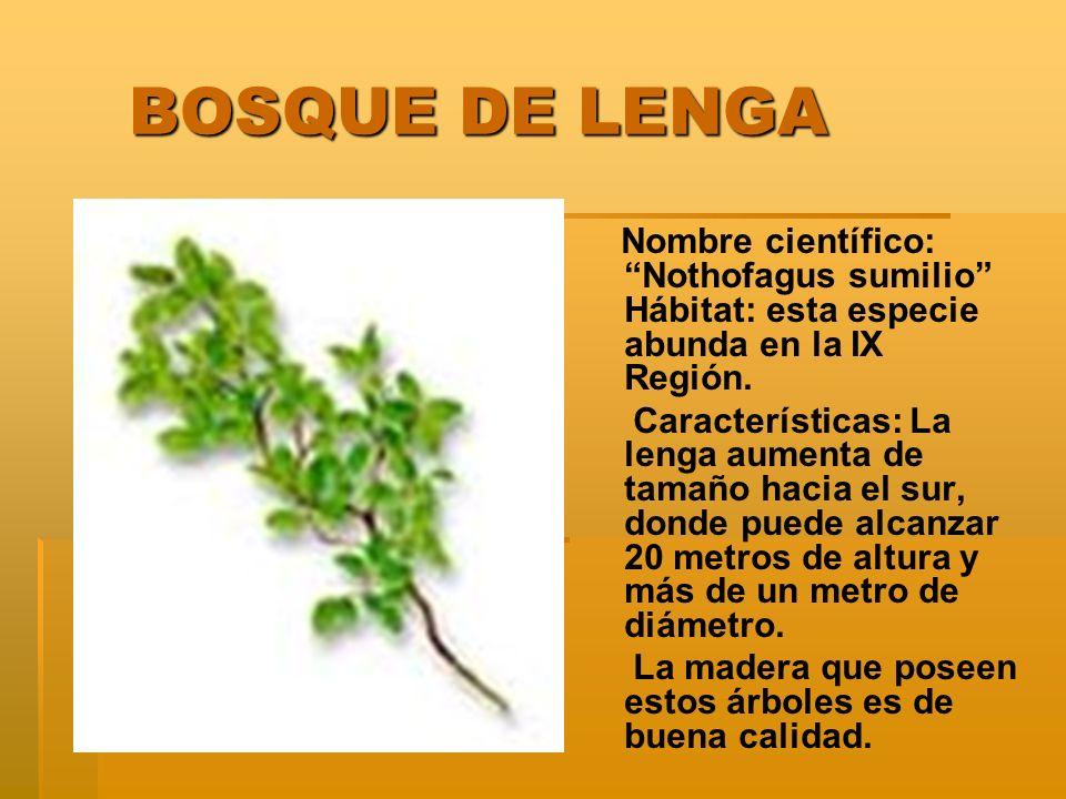 BOSQUE DE LENGA Nombre científico: Nothofagus sumilio Hábitat: esta especie abunda en la IX Región.
